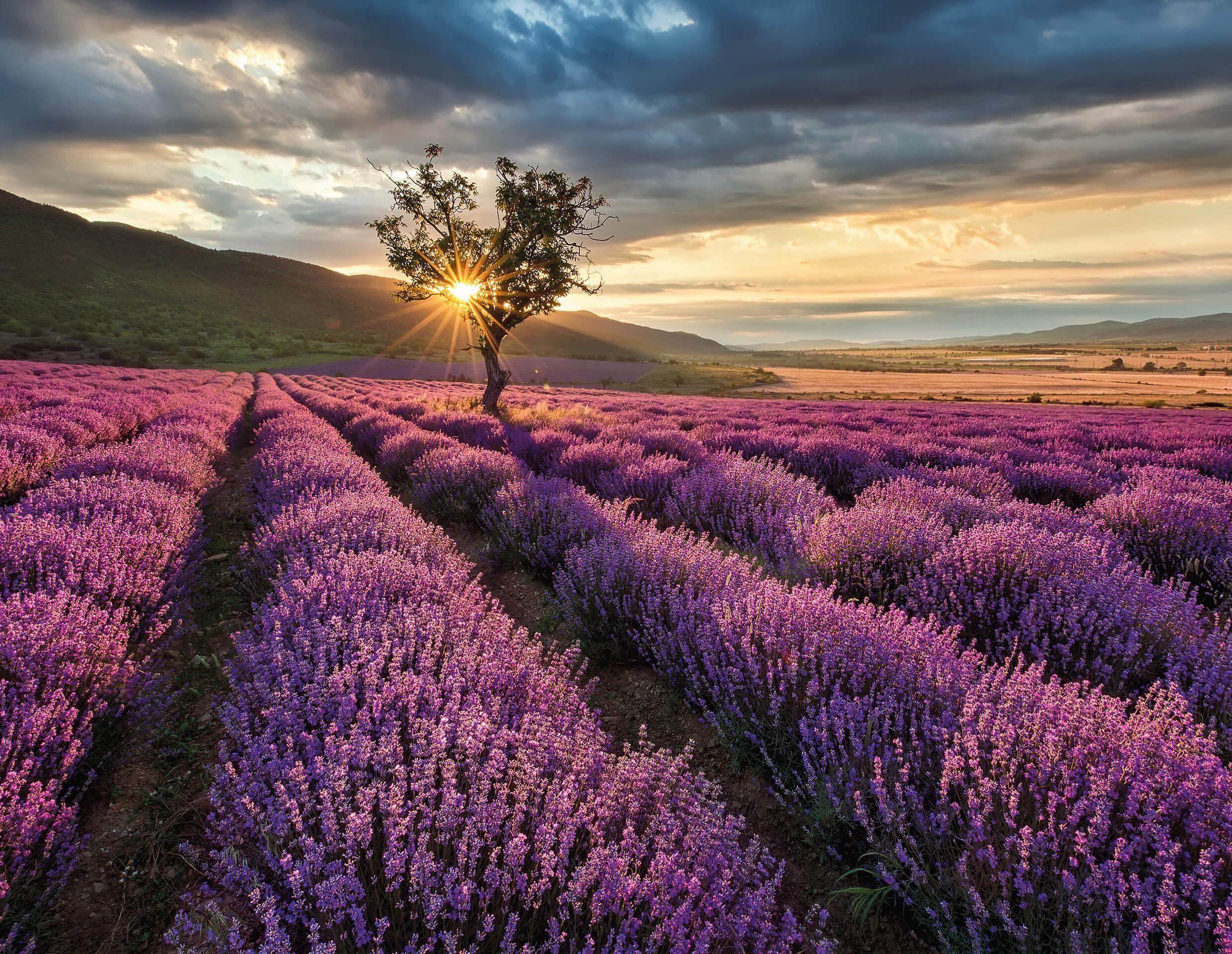 Fototapete, living walls, »Lavendelfeld«, Vlies glatt