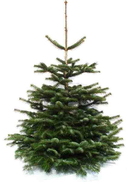 Echter Weihnachtsbaum Nordmanntanne aus dem Sauerland, frisch geschlagen