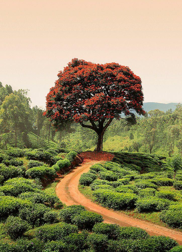 IDEALDECOR Fototapete »Roter BaumHügel Sri Lanka«, Vlies, 2 Bahnen, 183 x 254 cm