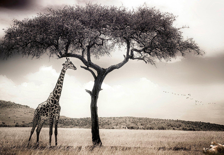 IDEALDECOR Fototapete »Giraffen Safari«, BlueBack, 4 Bahnen, 368 x 254 cm
