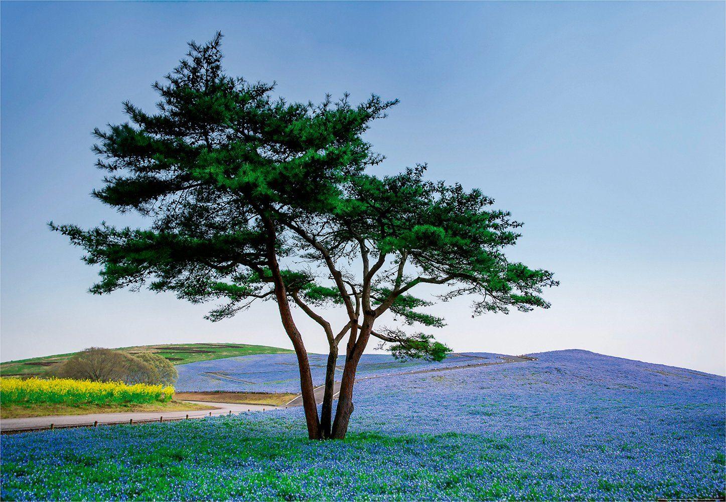 IDEALDECOR Fototapete »Baum Blumen Japan«, BlueBack, 4 Bahnen, 368 x 254 cm