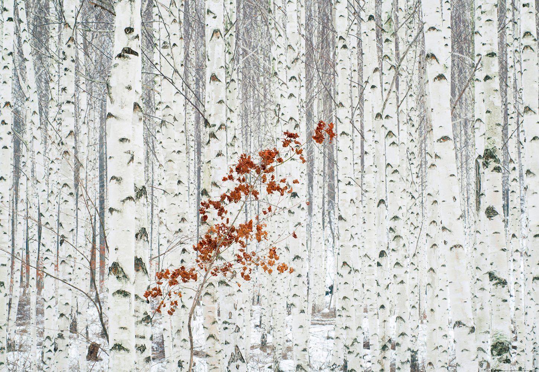 IDEALDECOR Fototapete »Weißer Birkenwald«, Vlies, 4 Bahnen, 368 x 254 cm