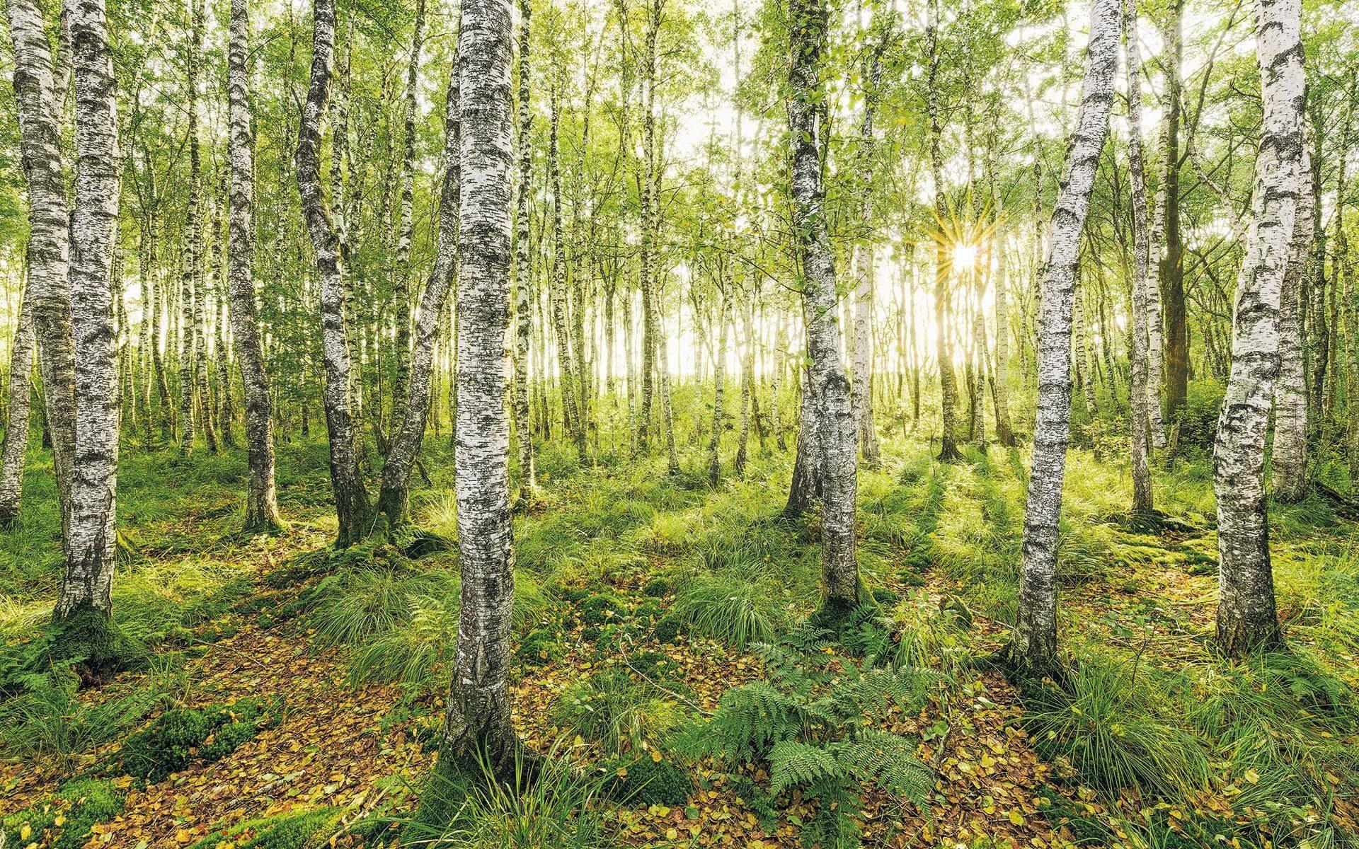 Komar Fototapete »Birch Trees«, 400/250 cm