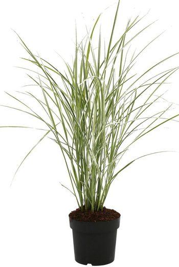 BCM Gräser »Chinaschilf sinensis 'Variegatus'«, Lieferhöhe ca. 60 cm, 1 Pflanze