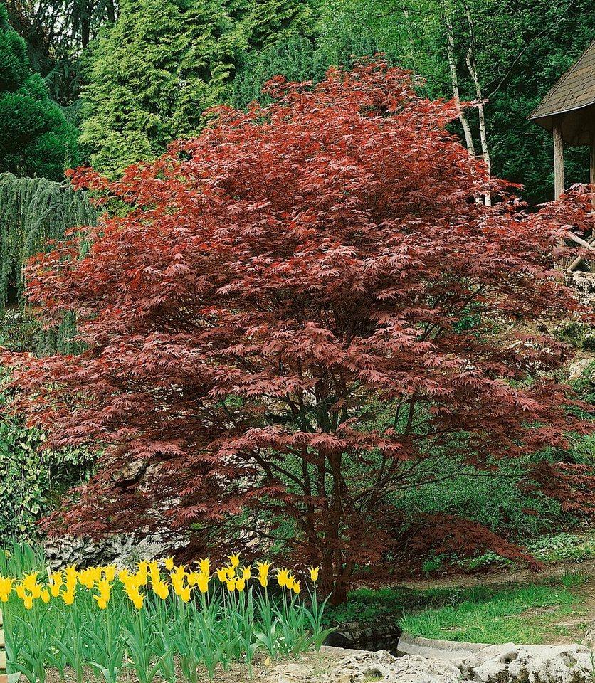 Gehölz »Roter Fächerahorn Atropurpureum« in rot