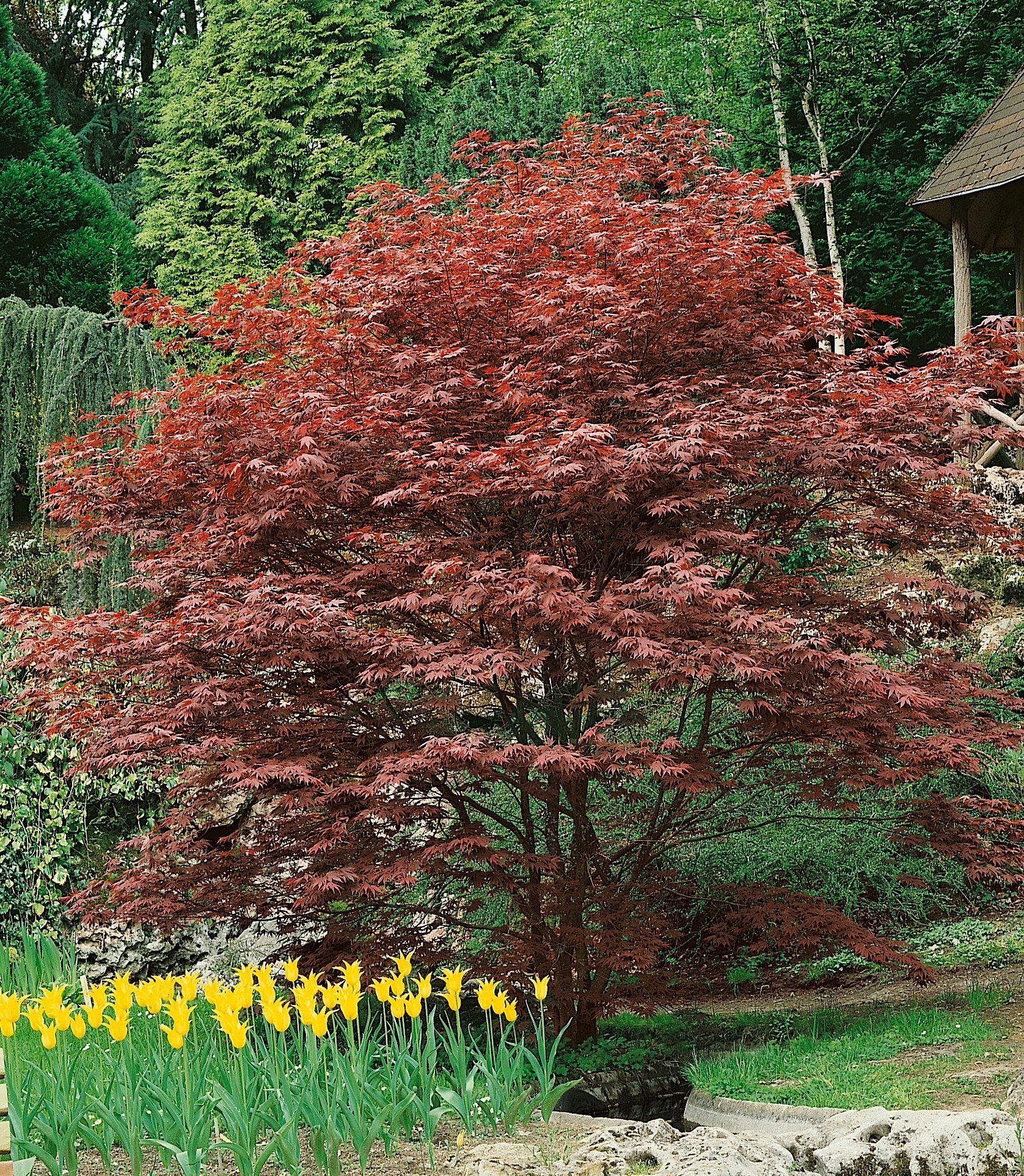 Gehölz »Roter Fächerahorn Atropurpureum«