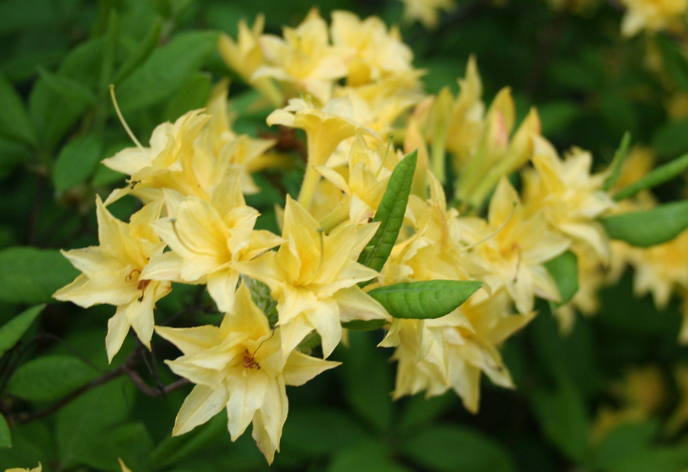 Set: Rhododendron »Azalee Pontica« (3 Pfl.)