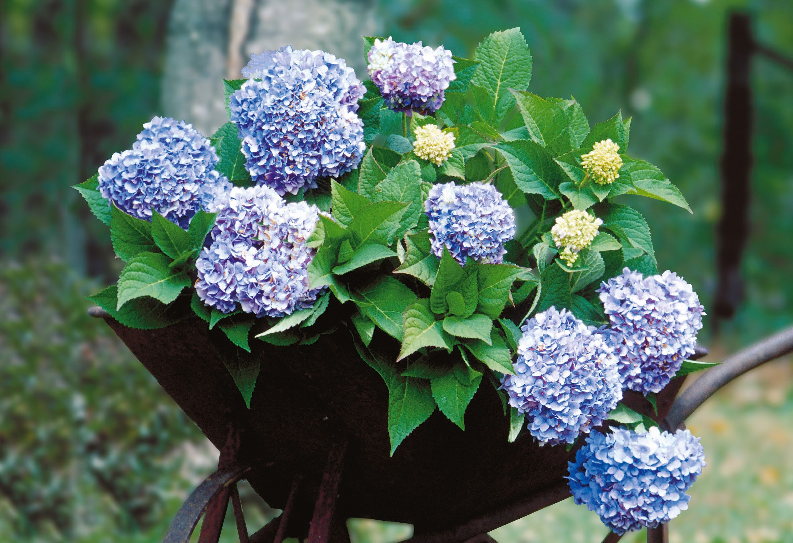 Hortensie Endless Summer® blau