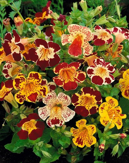 Beet & Balkonpflanze »Gefleckte Gauklerblume«