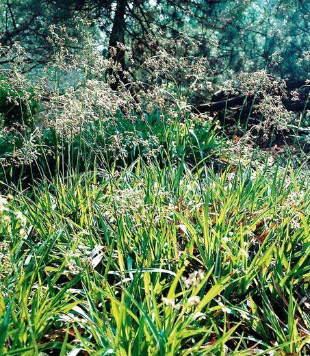BCM Staude »Waldmarbel Gras«