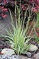 BCM Gräser »Pfeifengras caerulea 'Variegata'«, Lieferhöhe ca. 40 cm, 1 Pflanze, Bild 2