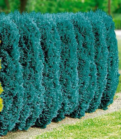BCM Hecken »Blaue Scheinzypresse«
