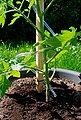 KHW Set: Pflanzenschutzdach »Tomatenhut Starter«, 3 Stk., ØxH: 49x7 cm, inkl. 3 Schläuchen + Folien, Bild 5