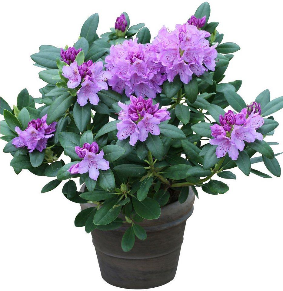 bcm rhododendron catawbiense grandiflorum bl ht von mai bis juni online kaufen otto. Black Bedroom Furniture Sets. Home Design Ideas