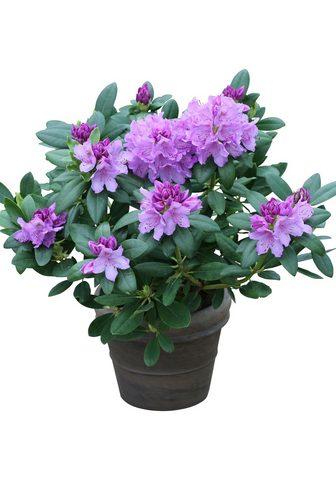 BCM Rhododendron »Catawbiense Grandiflorum...
