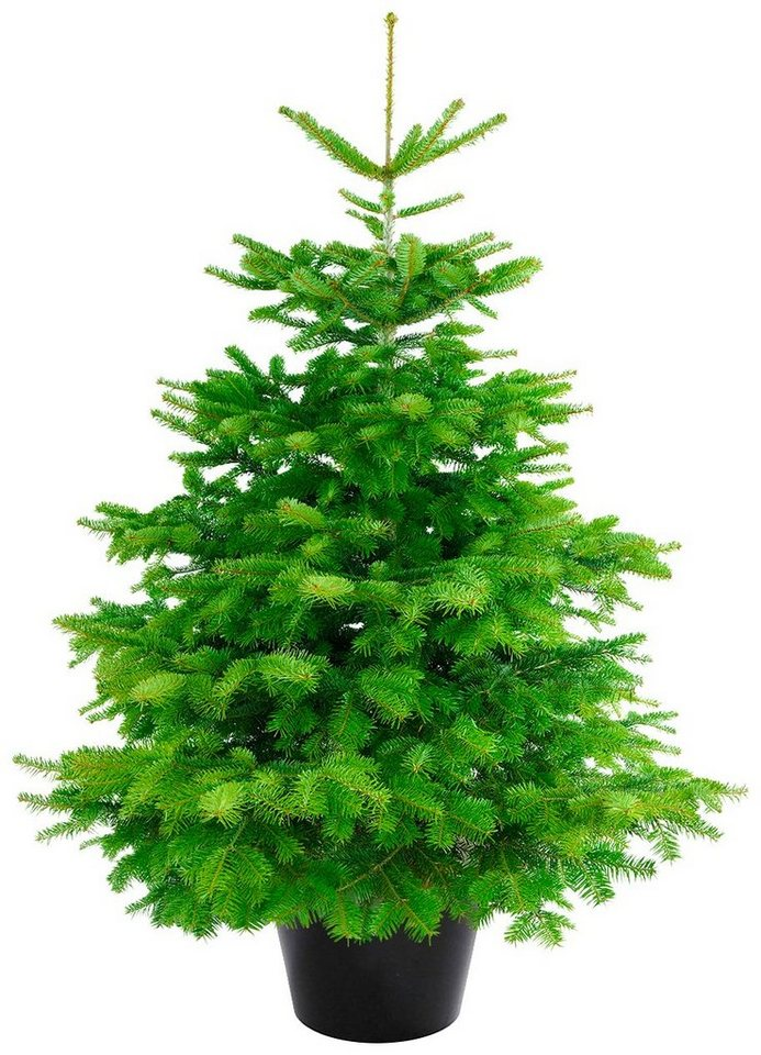 weihnachtsbaum nordmanntanne getopft h he 100 110 cm. Black Bedroom Furniture Sets. Home Design Ideas