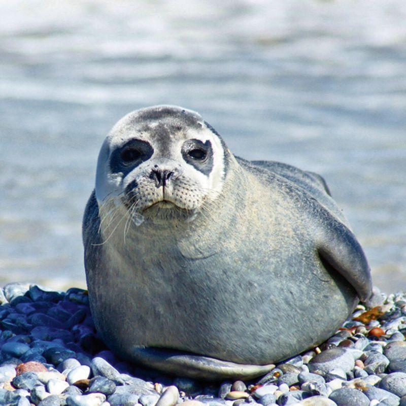 Artland Wandfolie »Kattobello: Robbe am Strand von Helgoland«