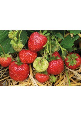 BCM Obstpflanze »Erdbeere Daroyal« 12 Pfla...