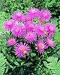 DOMINIK Blumenzwiebel »Kaktus-Dahlie - Park Princess«, 3 Stück, rosa blühend, Bild 3