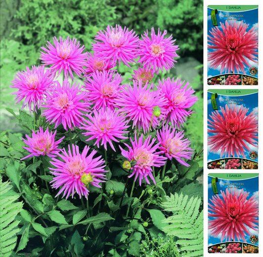 DOMINIK Blumenzwiebel »Kaktus-Dahlie - Park Princess«, 3 Stück, rosa blühend