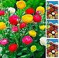 DOMINIK Blumenzwiebel »Ranunkeln«, 30 Шт, Frühjahrsblüher, Bild 1