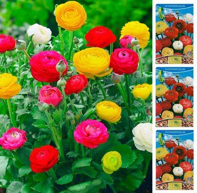 DOMINIK Blumenzwiebel »Ranunkeln«, 30 Шт, Frühjahrsblüher