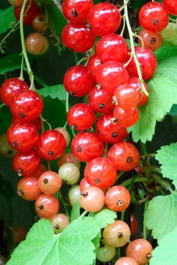BCM Säulenobst »Rote Johannisbeere Rondom«, Höhe: 50 cm, 1 Pflanze