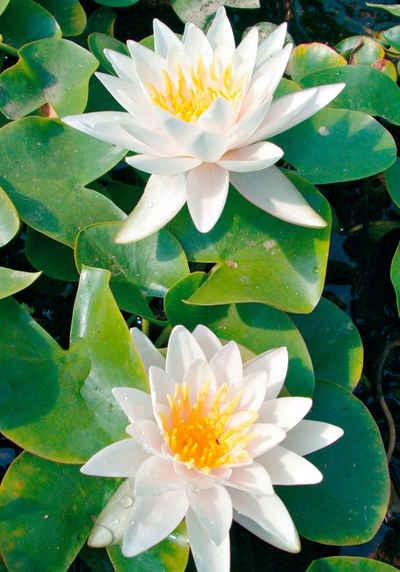 BCM Wasserpflanze »Seerose Walter Pagels«