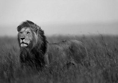 CONSALNET Fototapete »Löwe«, verschiedene Motivgrößen