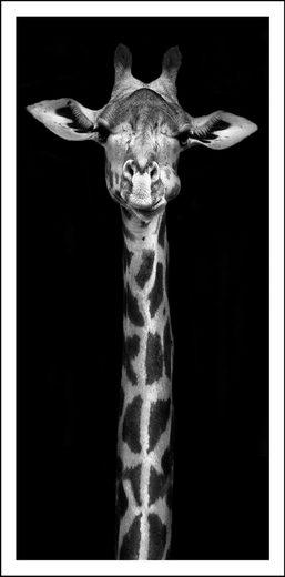 Bild »Giraffe«, mit Rahmen