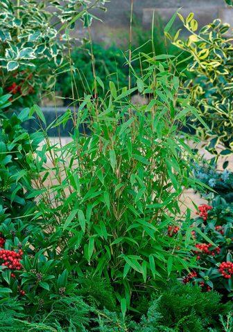 BCM Hecken »Jumbo Bambus«