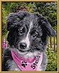 Schipper Malen nach Zahlen »Meisterklasse Klassiker - Border Collie Puppy«, Made in Germany, Bild 6