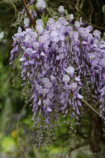 BCM Kletterpflanze »Blauregen«, Lieferhöhe: ca. 60 cm, 1 Pflanze