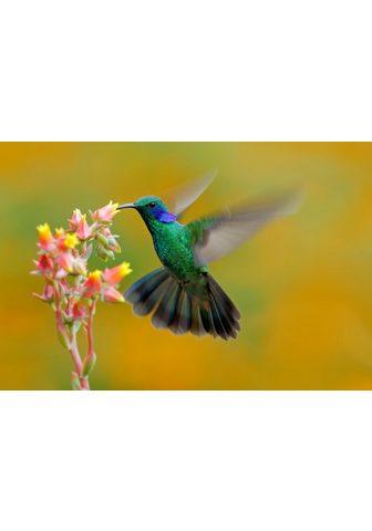 PAPERMOON fototapetas »Hummingbird Col...