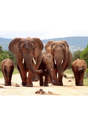 PAPERMOON fototapetas »African Elephan...