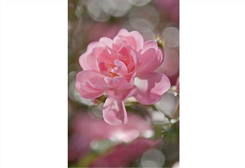 Fototapete, Komar, »Bouquet«, 184/254 cm in rosa