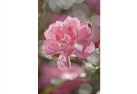 Fototapete, Komar, »Bouquet«, 184/254 cm