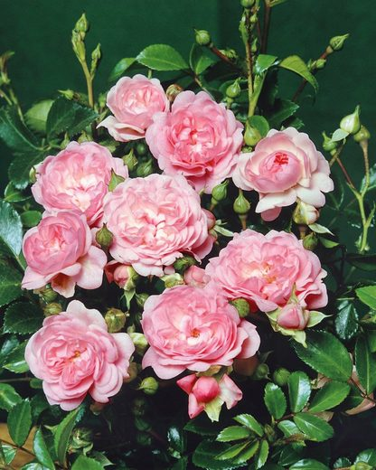 """Bodendeckerrose »""""The Fairy""""«"""