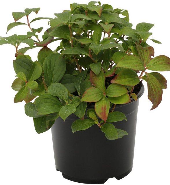 Teppich-Hartriegel (3 Pfl.) | Garten > Pflanzen > Pflanzen | BCM