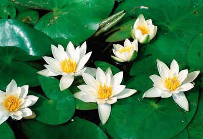 BCM Wasserpflanze »Seerose Pöstlingsberg«