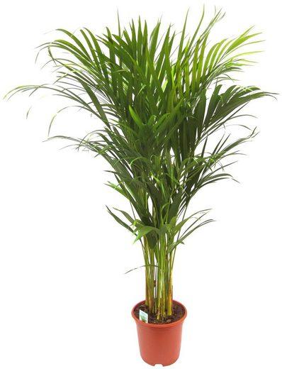 DOMINIK Zimmerpflanze »Goldfruchtpalme«, Höhe: 90 cm, 1 Pflanze