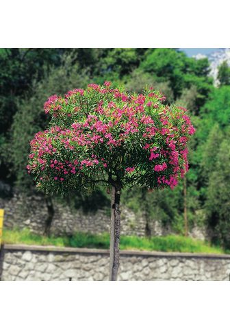 BCM Beetpflanze »Oleander«