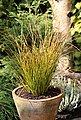 BCM Gräser »Segge brunnea 'Camara' ®« Spar-Set, Lieferhöhe: ca. 30 cm, 4 Pflanzen, Bild 3