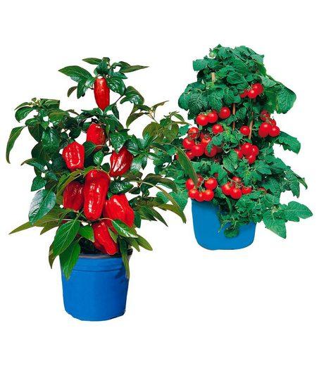 BCM Beetpflanze »Balkongemüse« Set, mit Paprika- und Tomatenpflanze