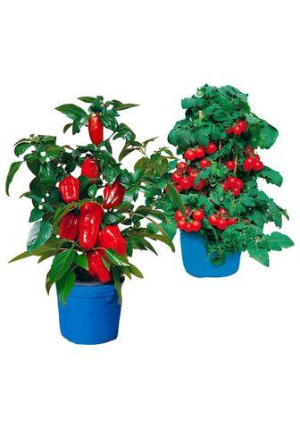 BCM Beetpflanze »Balkongemüse« rinkinys su...