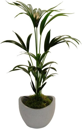 DOMINIK Zimmerpflanze »Kentia-Palme«, Höhe: 60 cm, 1 Pflanze im Dekotopf
