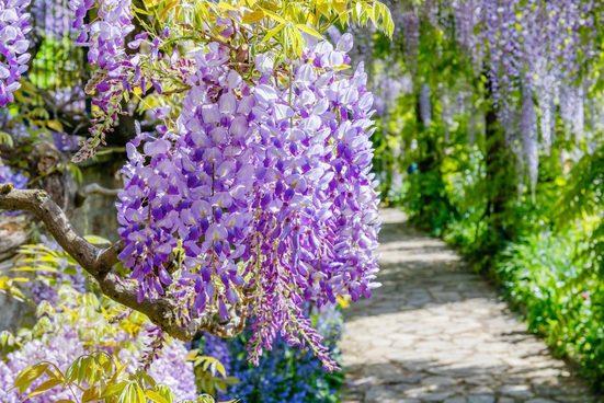 BCM Kletterpflanze »Blauregen 'Domino'« Spar-Set, Lieferhöhe: ca. 60 cm, 2 Pflanzen