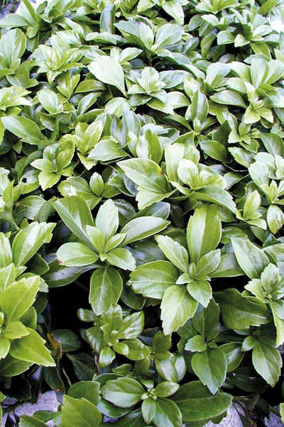 BCM Beetpflanze »Bodendecker Schattengrün«