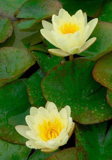 BCM Wasserpflanze »Seerose Colonel A.J.Welch«