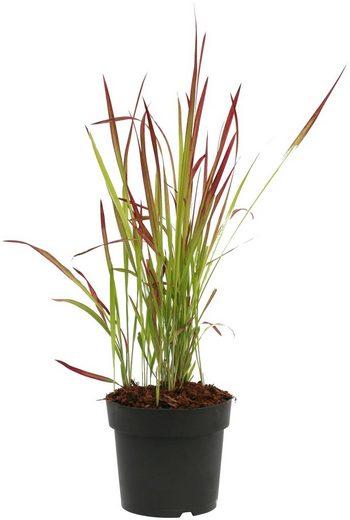 BCM Gräser »Blutgras cylindrica 'Red Baron'«, Lieferhöhe ca. 60 cm, 1 Pflanze